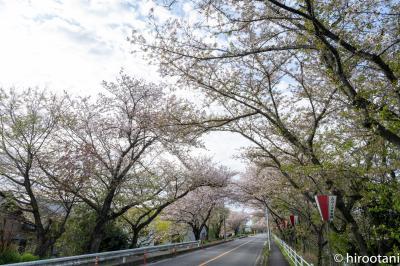 2021 鍋田川堤の桜並木