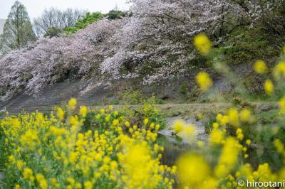 2021 山崎川四季の道の桜