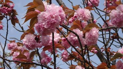 天神川沿いに咲く八重桜を見に行きました 上巻。