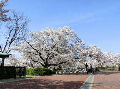 春の陽気に誘われて、大阪万博記念公園 自然文化園で「桜三昧のひと時」を過ごす。(2021)