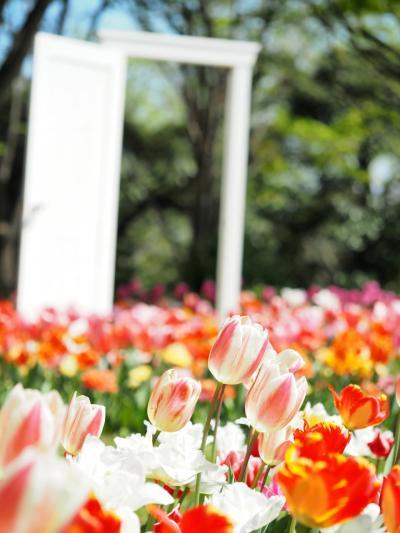 昭和記念公園チューリップと私の家の話  2021.4.7