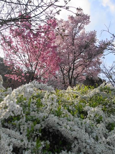 2021年京都の桜 その1~植物園と高瀬川、ときどき猫