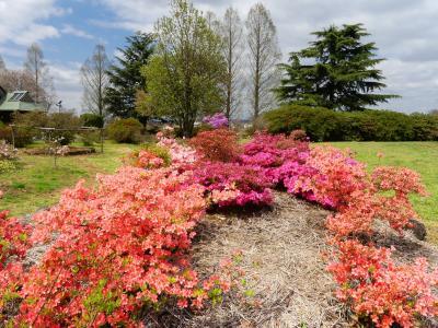 「つつじが岡公園」のツツジ_2021_開花は1~2割、桜は散り終わりでした(群馬県・館林市)