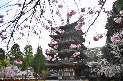2021年京都の桜 その2~醍醐の花見