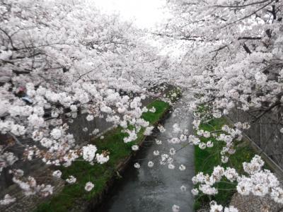 2021年 市川 桜