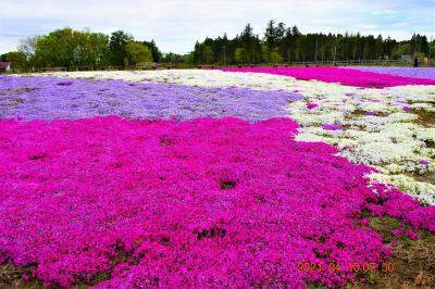2021 芝桜&ネモフィラのコラボ『富田さとにわ耕園』に行ってみた
