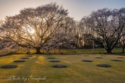 身近なところで一人花見 ~天平の丘公園の薄墨桜~