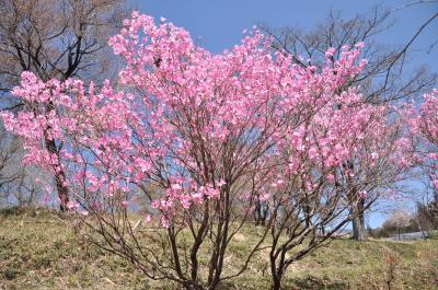 赤城千本桜は立入禁止!それではアカヤシオの丘へGO!