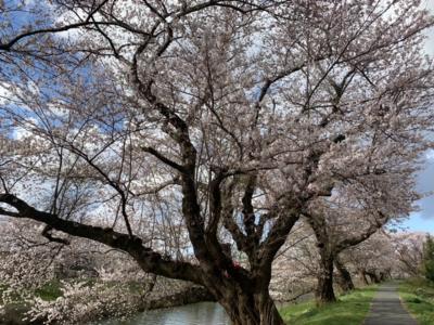 桜満開の太平川遊歩道を行く