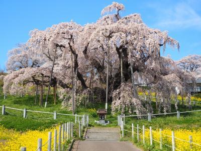 2021 春休み 福島 芦ノ牧温泉と三春の滝桜 2