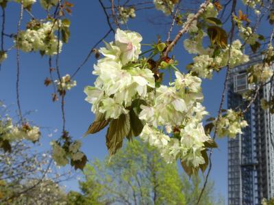 「御正作公園」のウコン桜_2021_満開直前で既に見頃、八重桜も綺麗(群馬県・大泉町)