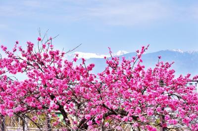 桃 の 花