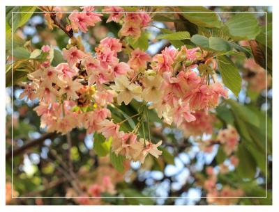 鬱金桜~七変化の妙♪