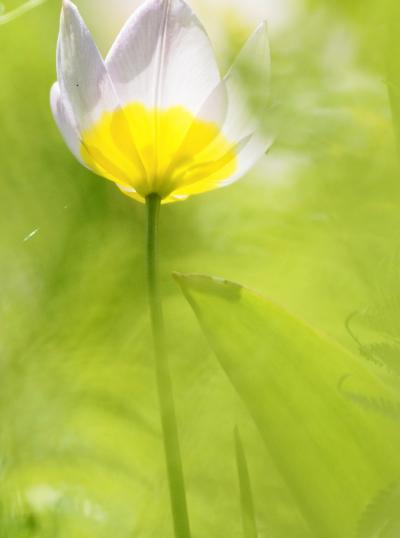 Japan 再開した昭和記念公園でチューリップを楽しむ(後半) ~ミツバチばあやの冒険~