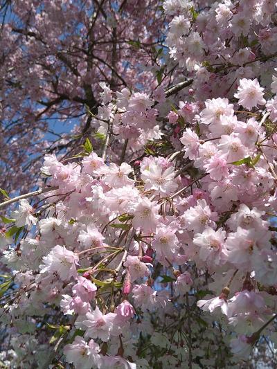 母を連れてお花見ドライブ富士宮