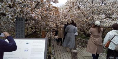 令和3年コロナに負けず京都・奈良の桜の下を歩きたい!その1、仁和寺編(2021年4月5日、5泊の旅)
