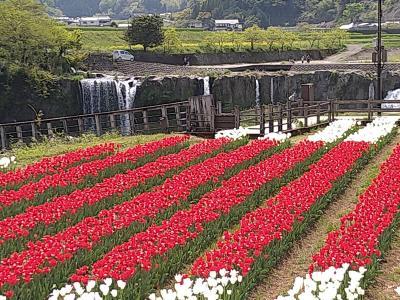 「一心寺のぼたん桜」「原尻の滝のチューリップ」春の花を愛でるお花見旅②(チューリップ)