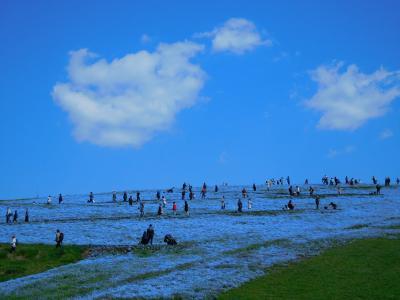 吸い込まれそうな青の世界!ひたち海浜公園 5分咲きのネモフィラ(花めぐりの旅'2021春①)