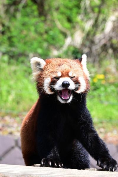 レッサーパンダはかわゆい !!!  西山動物園