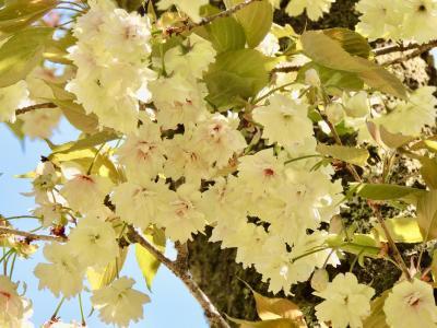 チャリダーアラカン東京高尾で2021桜の見納め、おまけに日本百名城