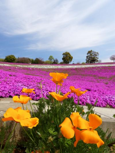 「八王子山公園」の芝桜とネモフィラ_2021_どちらも見頃になりました(群馬県・太田市)