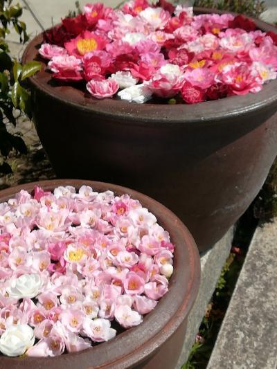 咲き誇る花々、そして温かい友人達に迎えられた京都・奈良旅(1)1日目は、桜と椿を愛でながら寺社を巡り、waadsさんと9年ぶりの再会