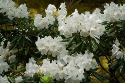 20210412-1 京都 目的地はまだ先ですが…天龍寺に寄り道して石楠花を鑑賞に