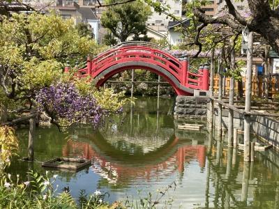 亀戸天神社 藤まつり☆藤と赤い橋とスカイツリー