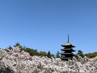 花より団子IN京都.。o○ 仁和寺の御室桜に圧倒されて平野神社で緑の桜?(@_@) フルーツパフェに大満足♪ 2日目後編 嵐電でGO!!