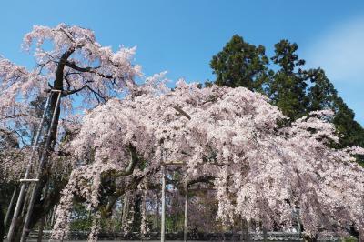 春爛漫 京都・近江の桜旅(1)弾丸で見てきた醍醐の桜&おまけの勧修寺と東寺