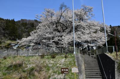 樹齢1200年、ご長寿桜第三位は今年も美しい姿!