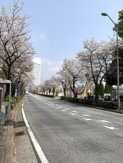 横浜みなとみらい桜見物