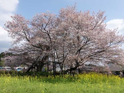 仮宿の下馬桜を見て来ました 2021.04.02