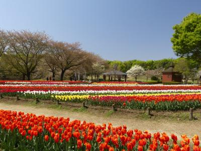 「深谷グリーンパーク」のチューリップ_2021(2)_満開になりました(埼玉県・深谷市)
