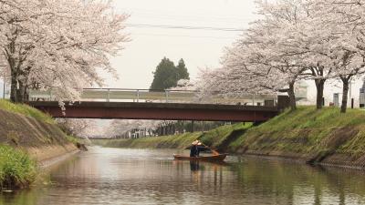 鳥羽川で川から桜を見てきました