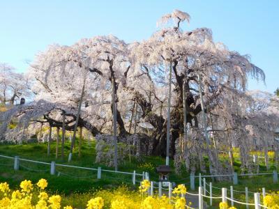 風に揺れる夏井千本桜・威風堂々の三春滝桜(花めぐりの旅'2021春②)