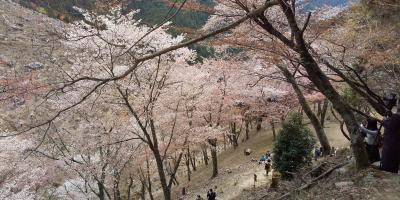 令和3年コロナに負けず京都・奈良の桜の下を歩きたい!その3、吉野山編(2021年4月8日、5泊の旅)