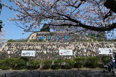 桜満開の鯖江市西山公園