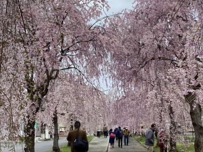日中線枝垂桜並木