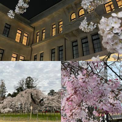 京都で桜を見る春旅。