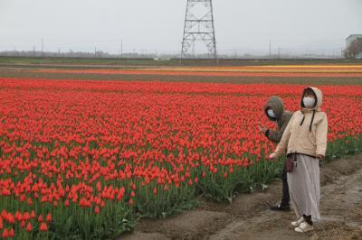 「五泉市チューリップ祭り」中止ですが…新潟県五泉市一本杉地内