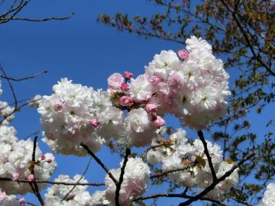 大阪府 吹田市 住宅地・青山台の道路脇に咲く「サトザクラ(里桜)を見て、コロナウイルスを忘れるようなひと時」を過ごす。(2021)