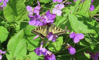 2021森のさんぽ道で見られた蝶④トラフシジミ、キアゲハ、その他