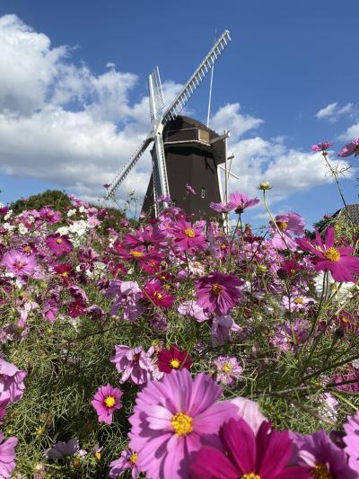 鶴見緑地公園 風車の丘のコスモス