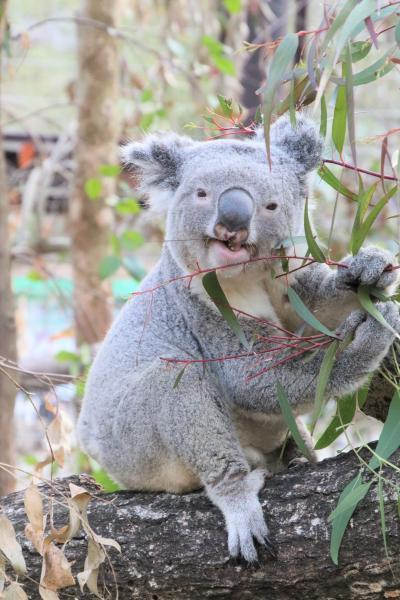 余韻の桜と花の埼玉こども動物自然公園(東園)お外のコアラのピリーくんに会いたい!~出勤は5分の差で逃す&クオッカ4頭や谷のカモシカ親子