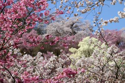 ◆百花繚乱~福島の桃源郷・花見山~花見山公園コース・その2