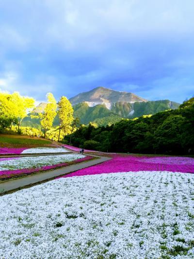 2年ぶりの芝桜 羊山公園に行く