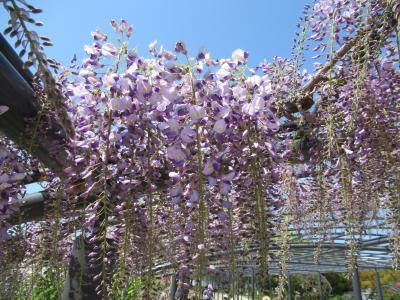 春の万博記念公園は花盛り