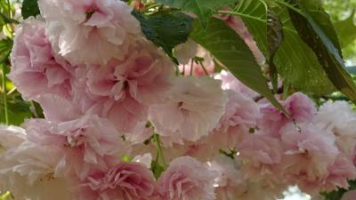 桜の花を撮影しながら、昆陽池公園~瑞ヶ池公園~東野地区を歩きました その2。