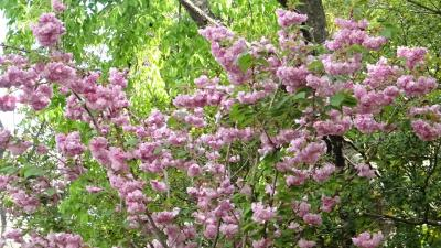 桜の花を撮影しながら、昆陽池公園~瑞ヶ池公園~東野地区を歩きました その3。